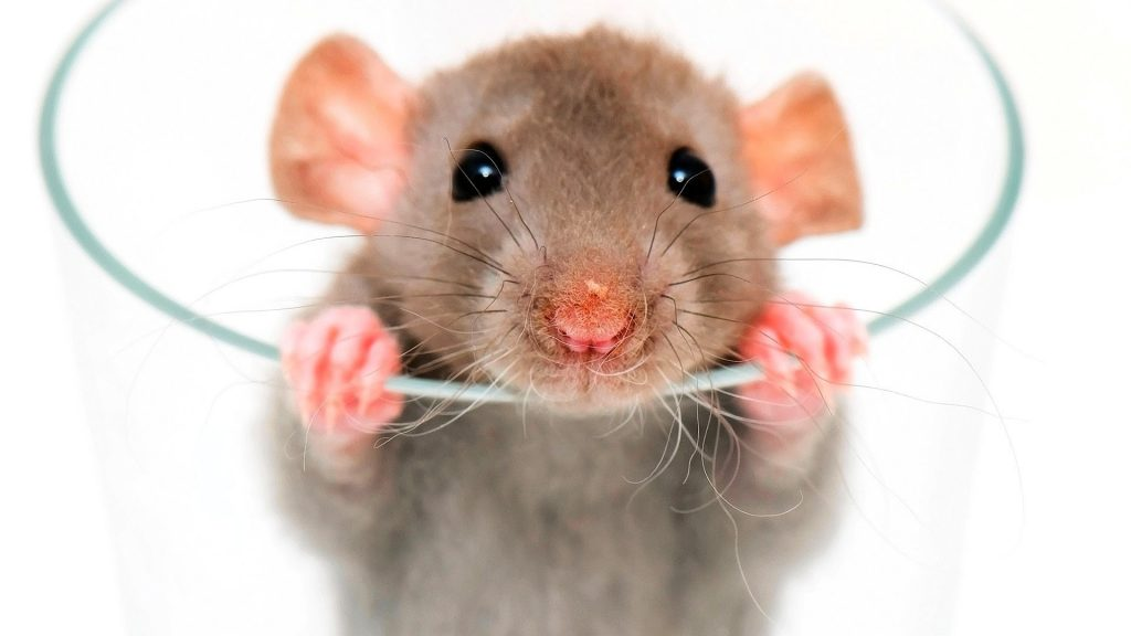 التخلص من الفئران