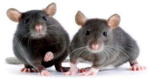 القضاء على الفئران بشكل نهائي